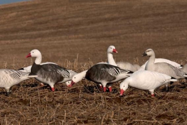 Avery Pro-Grade FB Snow and Blue Goose Harvesters - 12 Pack