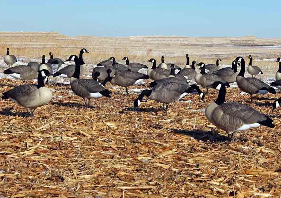 DOA Decoys Rogue Series Full Body Canada Goose Decoys, 6 Pack