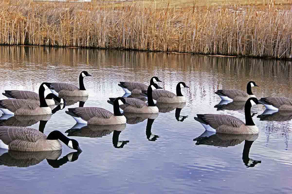DOA Decoys Rogue Series Floating Goose Decoys, 6 Pack