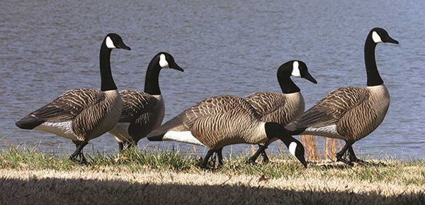 Higdon Decoys Alpha Magnum Full Body Variety Canada Goose, 6 Pack